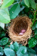 Birds building their nests on our roses!