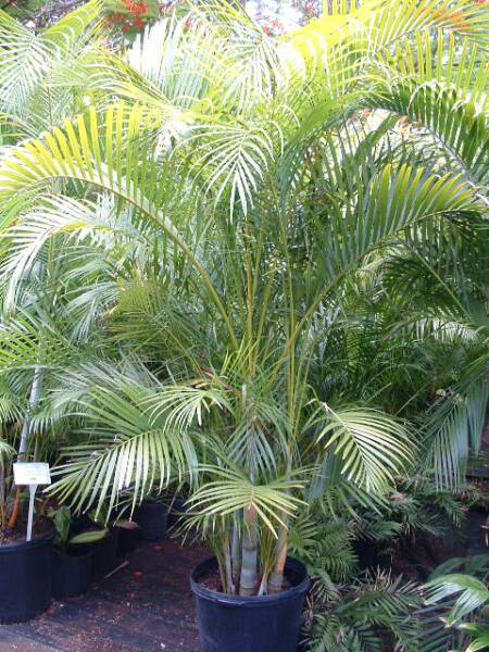 Indoor plants as air filters our farm by earth flora inc for Pictures of areca palm plants