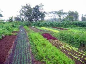 Multiple Cropping, a Mitigation Strategy